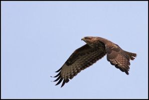 Buzzard II by nitsch