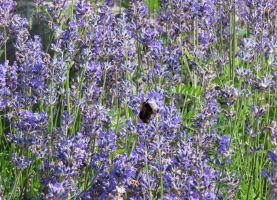Lavender and a Bumblebee 2 by Kattvinge