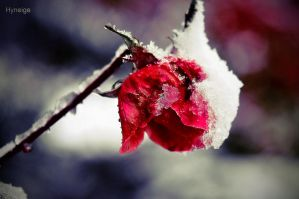 Quand neigent les roses by hyneige
