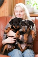 Beauceron puppies by lucien-fleurier
