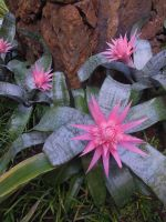 Bromeliad Blossoms by joeyartist