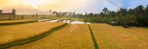 Paddy rice panorama by MotHaiBaPhoto
