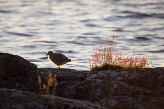 Little Seagull by Sara-Roth
