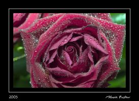 Rose : serie III by melaniep