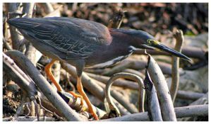 Green Heron by CTP