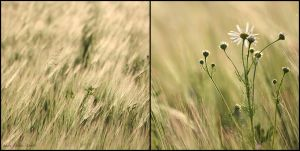 wheatfield no.1 by herbstkind