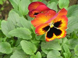 Colorful Pansy by shalakazam
