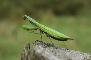 Praying Mantis by Fire-Fuel