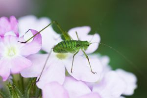 :Pink green: by giovannniii