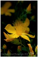 Yellow Flower by Rovanite