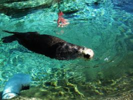 Sea Otter 14 -- Sept 2009 by pricecw-stock