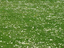 Stock - Field of Daisies 001 by ladykraut
