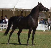 STOCK - TotR Arabians 2013-313 by fillyrox