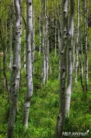 Through the Aspens by mjohanson