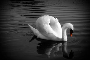 Swan... by amzb87
