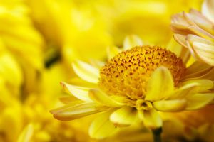 Little Yellow Chrysanthemum by johnchan