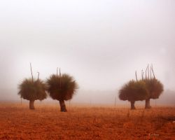 Xanthorrhoea in the fog. by AdamsWife