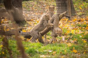 Cheetah Autumn Playtime by spike83