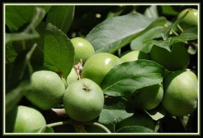 green apples by ForgivenDreamSoul