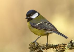 Cheeky face - Great tit by Jamie-MacArthur