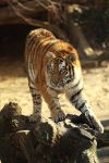 Eye of the tiger by Saromei
