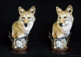 Competition Coyote Pedestal by WeirdCityTaxidermy