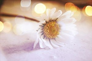 .: bokeh, daisy :. by all17