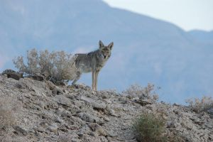 Coyote by Rayroze