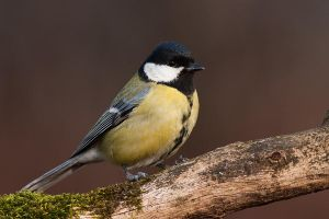 Parus major II by JMrocek