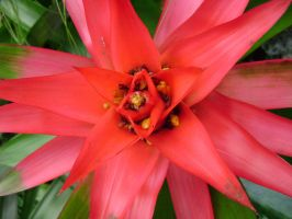 Aechmea, Vase Plant by laura-worldwide