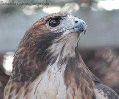 Regal Red-Tail by PeregrineFalconLady