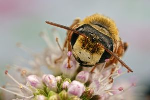 Solitary Bee on Mint I by dalantech