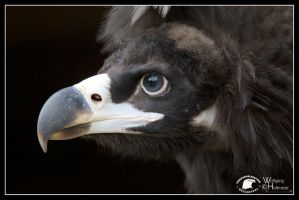 2013-93 Monk Vulture by W0LLE