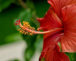 Hibiscus Horn by MehranMo