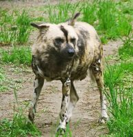 African Wild Dog Stock 8 by HOTNStock