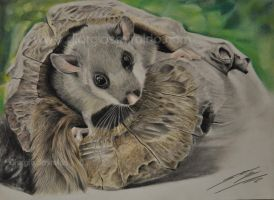 Glis glis by selvatico3