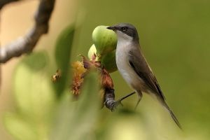 Lesser Whitethroat by nakitez
