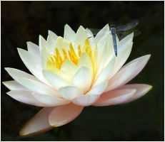 WATERLILY AND DRAGON FLY by THOM-B-FOTO