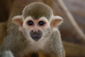 Spider monkey portrait by sicklittlemonkey