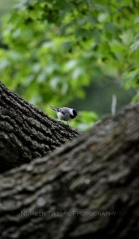 ::Chickadee:: by Number12-Photography