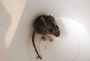 Alfred the Mouse 08 by umiSTOCK