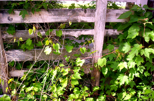 Ivy Covered Fence by CrimsonNightStock