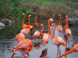 Flamingo Invasion by roof--top
