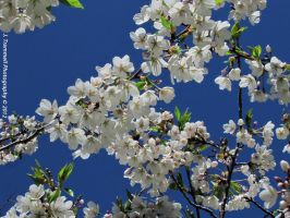 White Cherry Blossoms by JLAT1990