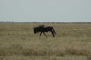 Gnu 3 by CosmicStock