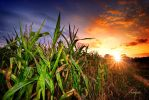 corn field by hotonpictures