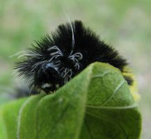 Caterpillar on Leaf. by KimberleePhotography