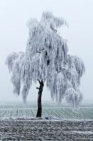 Frozen Tree by DavidVogt