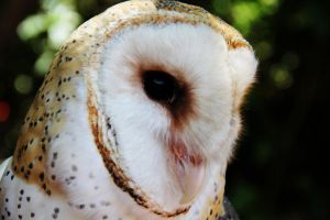 Beautiful Barn Owl by deliquescing