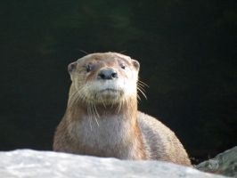 The  Inquisitive Otter by wolfwings1